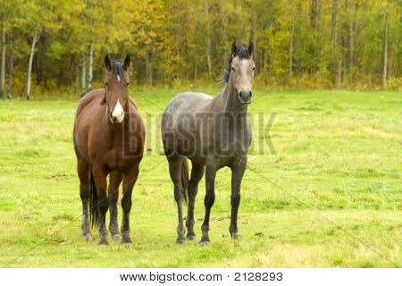 Two Horses In Autumn Field