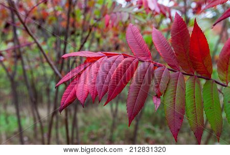 Isolated twig with red leaves / Fall foliage/ Twig closeup with red leaves