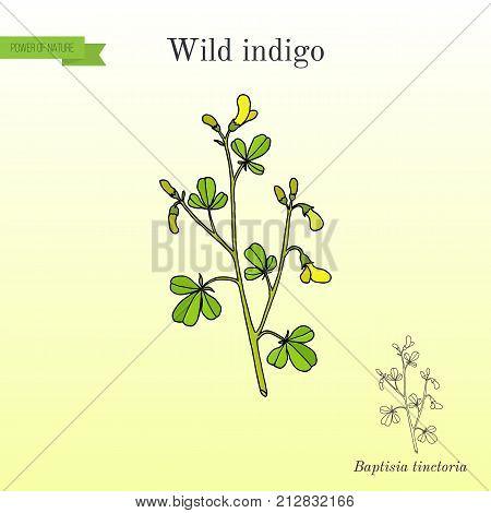 Wild-indigo Baptisia tinctoria , or yellow false indigo, horseflyweed, broom-clover, medicinal plant. Hand drawn botanical vector illustration