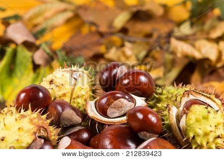 Bunch Or Pile Of Horse Chestnuts On Autumn Leaves