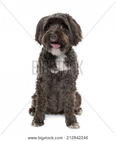 Tibetan Terrier, 3 years old, sitting in front of white background, studio shot