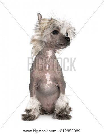 Portrait of hairless Chinese Crested Dog, 3 months old, sitting in front of white background, studio shot