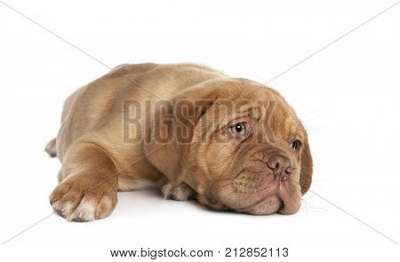 Dogue de Bordeaux puppy lying down in front of white background, studio shot