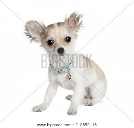 dog: chihuahua, white, sitting, facing in front of a white background