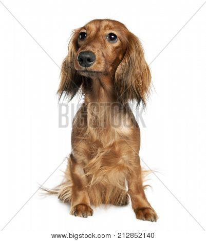 Portrait of Dachshund, 1 year old, sitting in front of white background, studio shot
