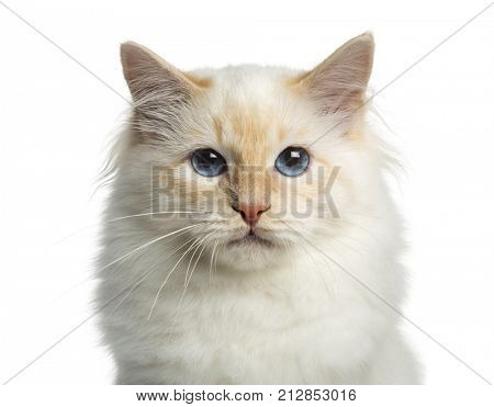 Close-up of a Birman cat, looking at the camera, isolated on white