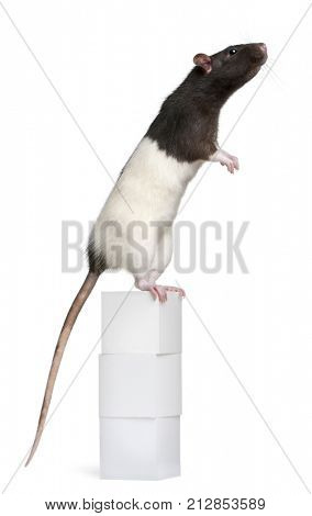 Fancy Rat, 1 year old, standing on box in front of white background