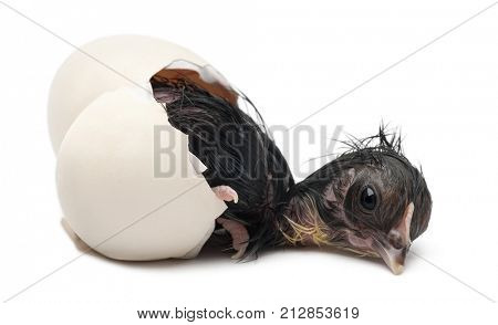 Bearded chick, Appenzeller chicken, Gallus gallus domesticus, just hatched out its egg in front of white background