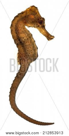 Longsnout seahorse or Slender seahorse, Hippocampus reidi redish, in front of white background
