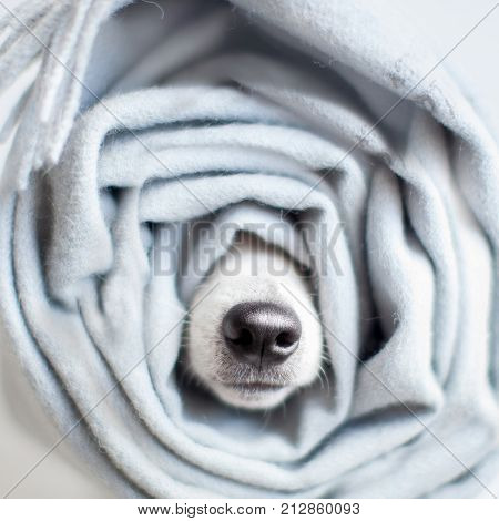 Dog wrapped in a scarf. Pet warms under a blanket in cold winter weather
