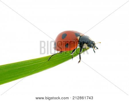 Bright red ladybird on green leaf isolated on white background.