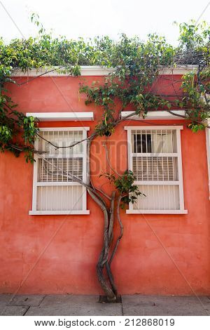 Tree growing up the wall of a house in the Getsemani neighborhood of Cartagena Colombia. poster