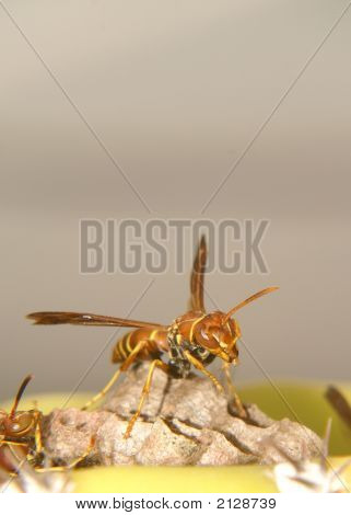 Angry paper wasp guarding nest with space above subject poster
