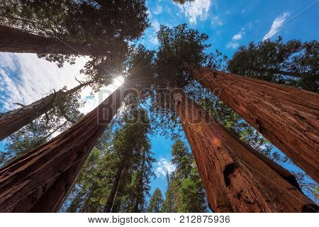 The sun bursting through giant redwood trees along the Congress Trail in Sequoia National Park.