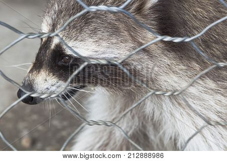 Raccoon close-up in zoo cage (Procyon lotor)