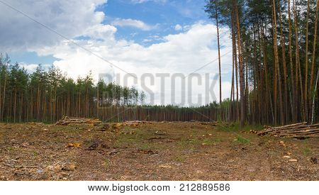 Pine tree forestry exploitation in Kiev. Pine stump, result of tree felling. Total deforestation area, cut forest, panoramic view.