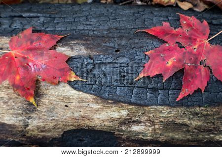 Charred Blackened Log Background With Two Red Leaves, Renewal Rebirth, Horizontal Aspect