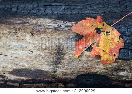Partially Charred Log Background With Orange And Yellow Leaf, Space For Text, Horizontal Aspect