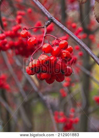 Ashberry on the twig close up = late autumn
