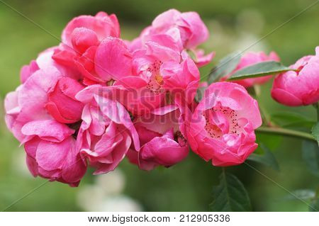 Beautiful pink roses in the garden with stamens