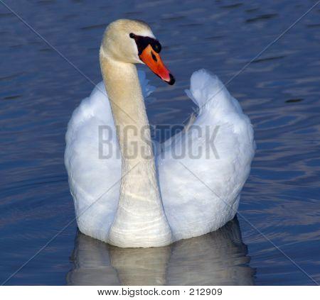 Proud Swan