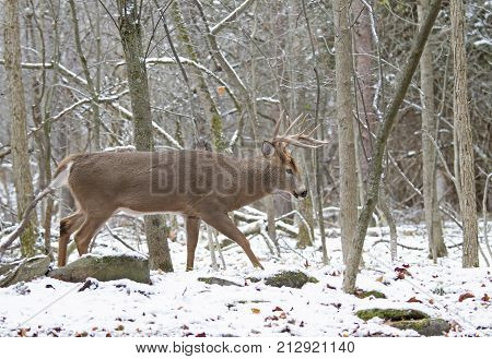 White-tailed deer buck walking in the falling snow in late autumn