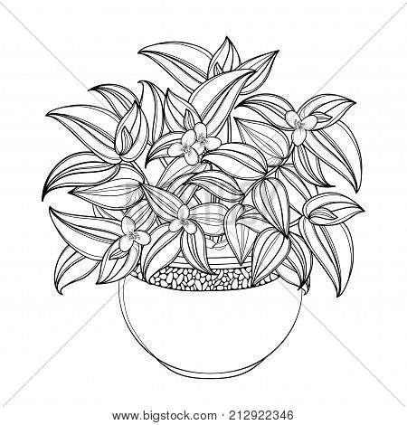 Vector bouquet with outline Tradescantia or Inch plant or Wandering Jew flower, bunch and leaf isolated on white background. Potted houseplant in contour for summer design and coloring book.