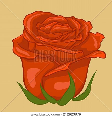 Red rose. Isolated flower on creamy background. Isolated rose flower