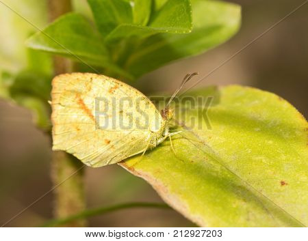 Small Mexican Yellow butterfly resting on a Zinnia leaf in fall garden