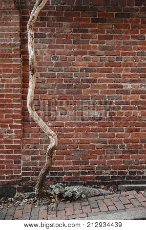 dead tree on a background of a brick wall. The trunk of a dry tree in an urban environment. the concept of the death of nature due to urbanization. copy space for your text. Vertical