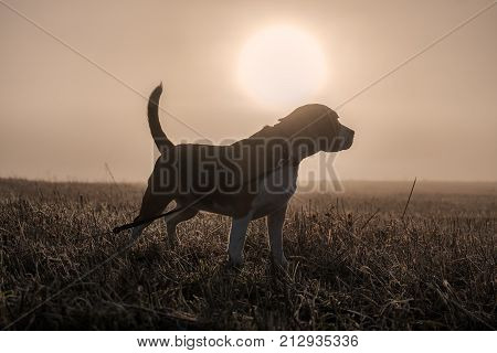 Beagle dog on a walk this morning in thick fog on the background of the circle of the sun