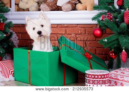 Decorated west highland white terrier dog as symbol of 2018 New Year in red sweater sitting in green gift box near door in winter holiday