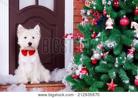 Decorated west highland white terrier dog as symbol of 2018 New Year with red bow tie sitting near door and pine tree in winter holiday