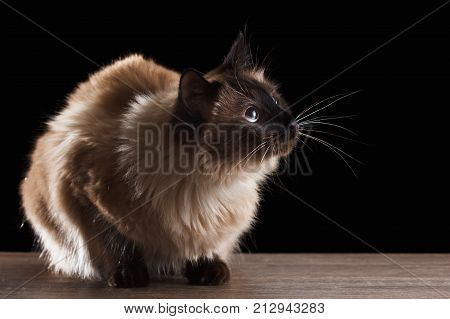 Beautiful balinese cat portrait with blue eyes isolated on black close up