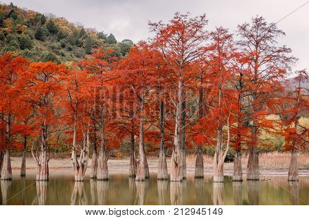 Red swamp cypresses, autumn landscape with lake