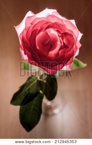 Rose With Backlight On A Wooden Background.