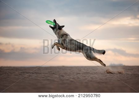 Dog Eastern European shepherd dog jumping for toy