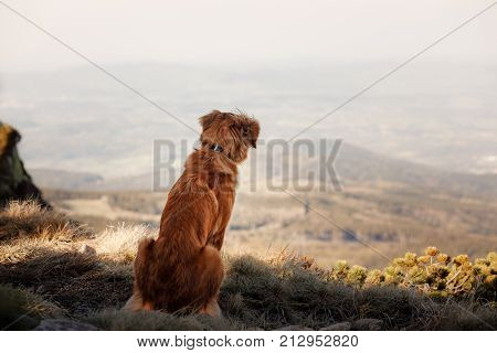Nova Scotia duck tolling Retriever looks over the valley from the mountain top