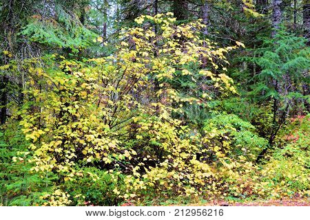 Deciduous Tree changing colors during autumn surrounded by pine trees taken in a temperate forest