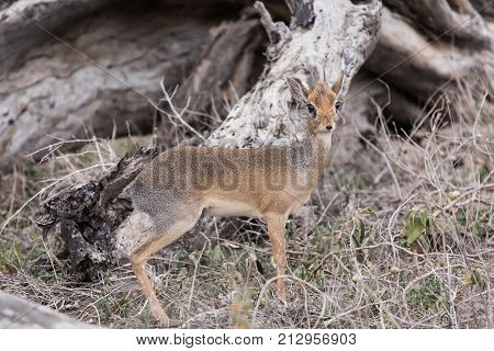 The smallest antelope, a Kirk's dik-dik, about the size of a small dog