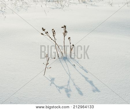 dry plant covered with ice and snow in the field on a sunny day