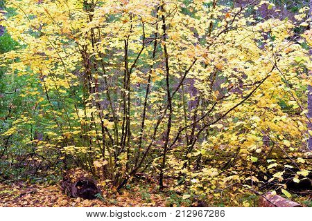 Deciduous tree leaves changing colors during autumn foliage taken during a rain storm in a temperate forest