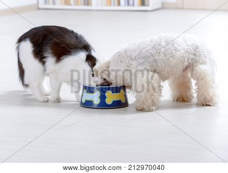 Little dog maltese and black and white cat eating food from a bowl at home