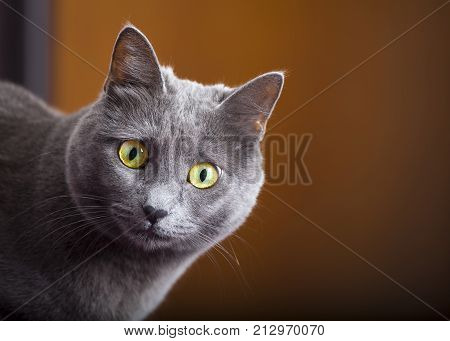 Close-up portrait of a young blue russian, carthusian cat with yellow eyes. Grey coat. Orange blurred background