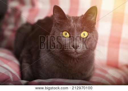 Portrait of a female blue russian cat yellow eyes, carthusian cat. A close-up portrait of a grey coat cat. Laid on a pillow pink gingham.