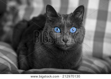Black and white cat portrait with blue eyes, carthusian cat. Grey coat. Laid on a pillow