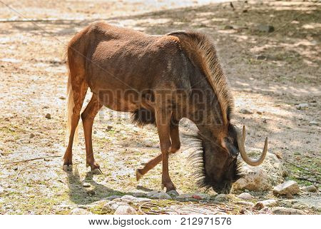 The Black Wildebeest Or White-tailed Gnu