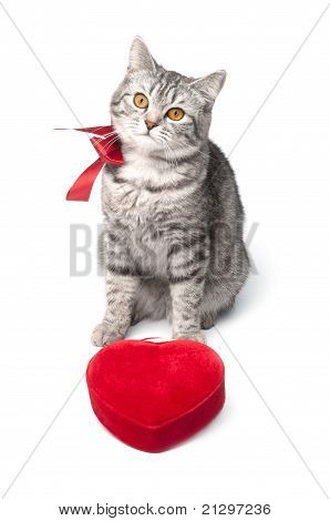 Looking young funny grey cat with red bow and heart, isolated on white poster