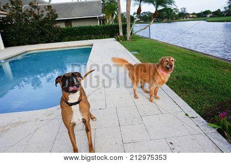 Boxer Dog Sticks Out Tongue And Prances