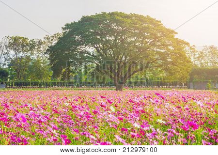 A field of cosmos with giant tree Mountain in the background. Beautiful cosmos flowers field at Jim Thompson farm at Nakornratchasima Thailand